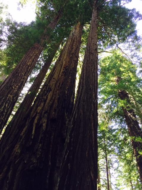 Second Growth Redwoods. near Orick, CA