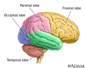 10402043-lobes-of-the-brain