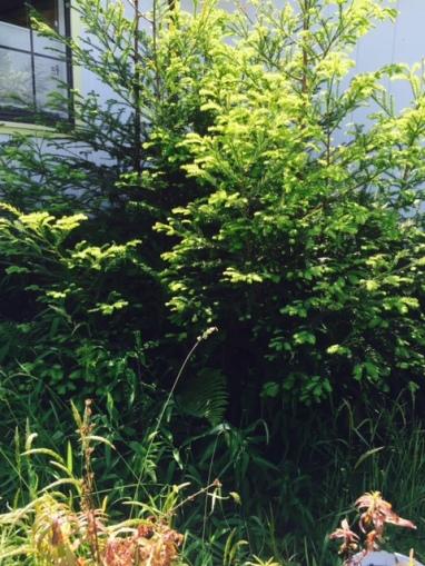 redwood cluster