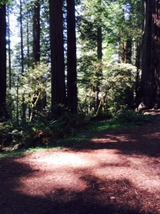 Redwoods in Redwood Park, Arcata, CA
