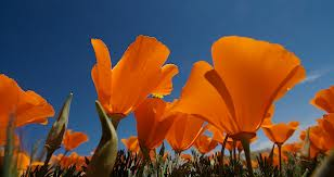 Lots of California Poppies