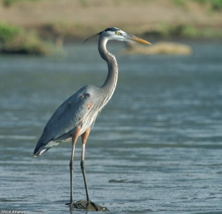 Great-Blue-Heron-tarcoles_1410