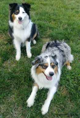 AustralianShepherdsTricolorZoey2YearsOldBeauMerle1YearsOldDogs